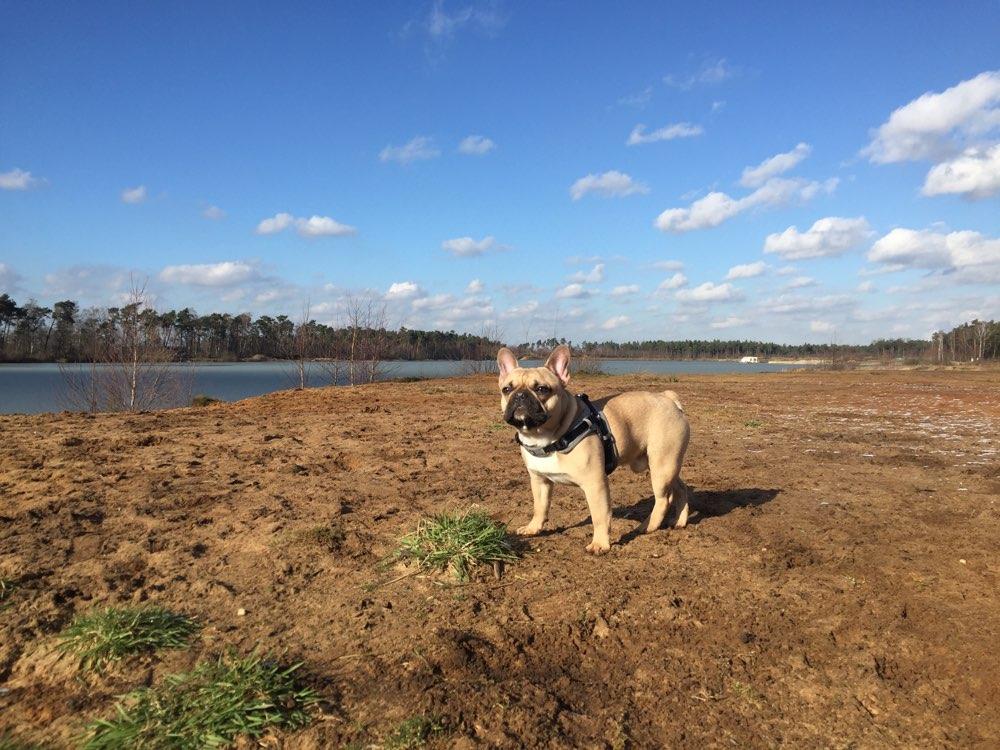 Bucky laeuft immer frei. Damit er sich so richtig austoben kann. Wir spazieren meist im Wald oder am See wo kein Verkehr herrscht. 😊